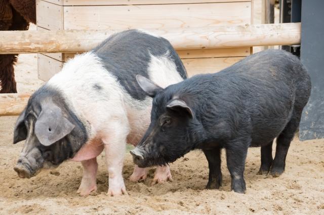 放牧豚通販