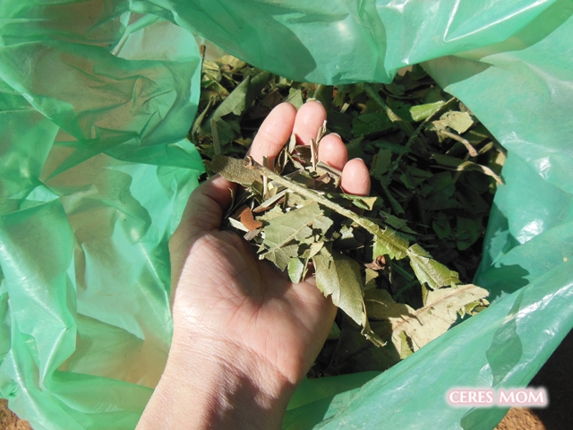 びわの葉で軟腐病対策